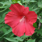 'Lord Baltimore' Hibiscus
